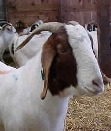 If your goats routinely lose ear tags, tattooing is a good options for permanent identification.