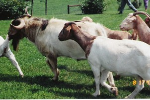 Meat goat production is a growing industry in the United States.