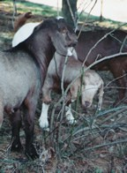 Many goats pick up large numbers of internal parasites on pastures if the pastures are not managed properly.