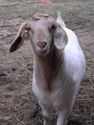 A normal goat should appear bright eyed with the head in a normal position. Most goats will also be rather nosy.