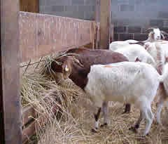 Goats should always be fed their hay in a feeder and not on the ground.