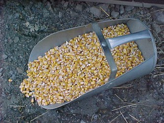 Shelled corn is one of the most widely used grains to add energy to a ration.