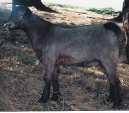 Feeding the Market Goat