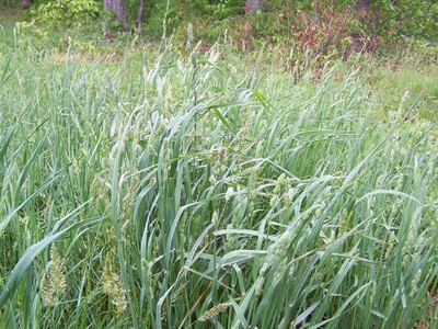 Mature Orchardgrass