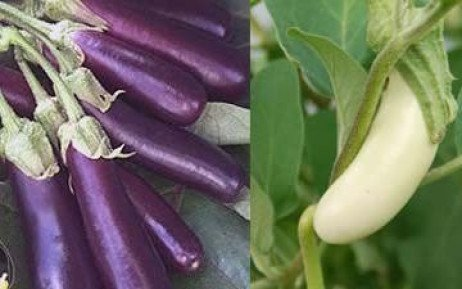 Container Grown Eggplants