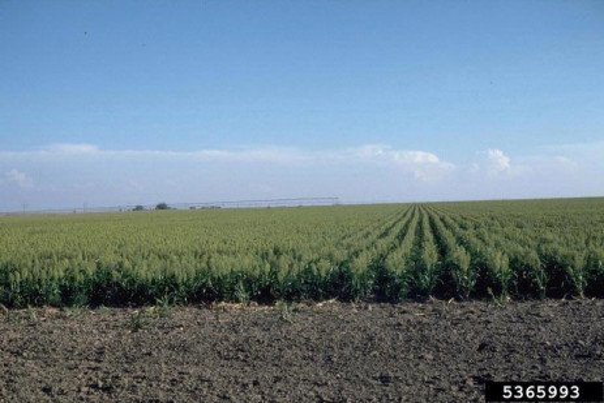 Forage Sorghum Planting