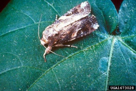 Identifying Non-targets from Fall Armyworm Pheromone Captures
