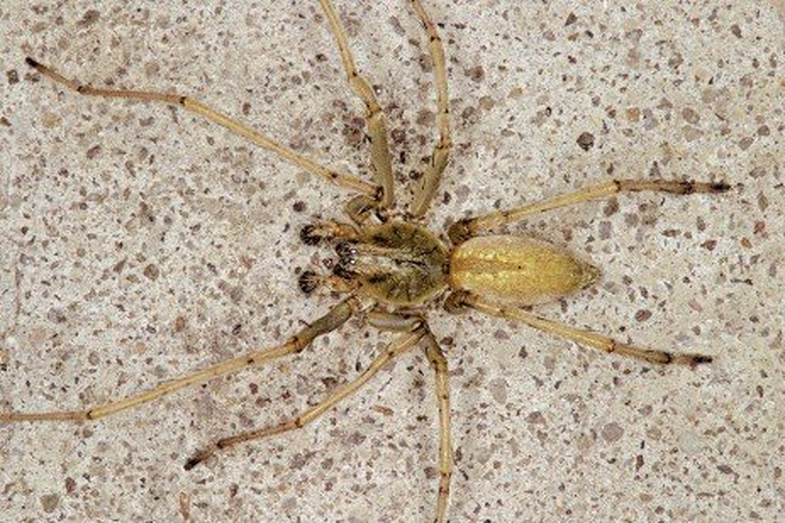 Agrarian Sac Spider and Longlegged Sac Spider