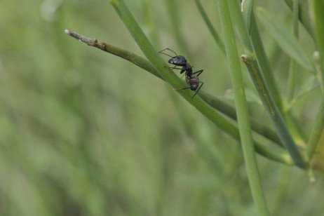 Ants in Home Lawns