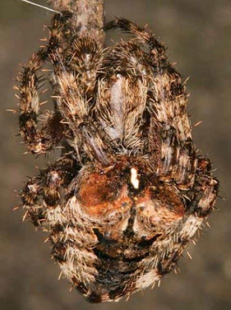 Fierce Orbweaver