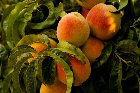 Home Orchards: Table 5.5. Pesticide Recommendations for Stone Fruit