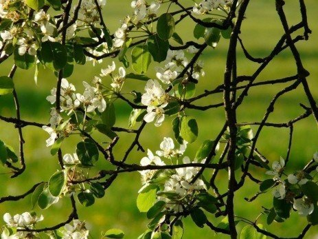 Home Orchards: Flowering Habits of Apples and Pears
