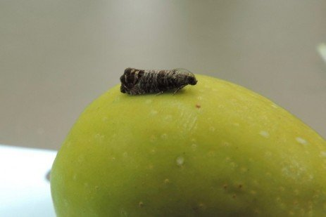 Codling Moth in the Home Fruit Planting