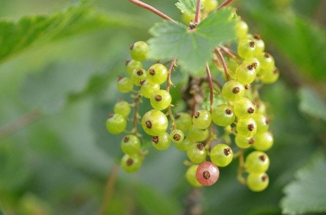 Insect Pests in Currants and Gooseberries in Home Fruit Plantings
