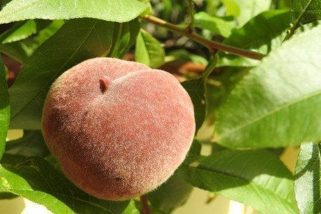 Nutritional Requirements of Stone Fruit in Home Fruit Plantings