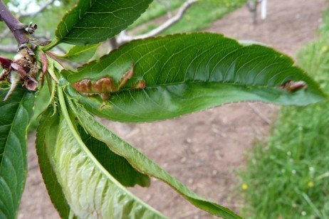 Peach Leaf Curl in the Home Fruit Planting
