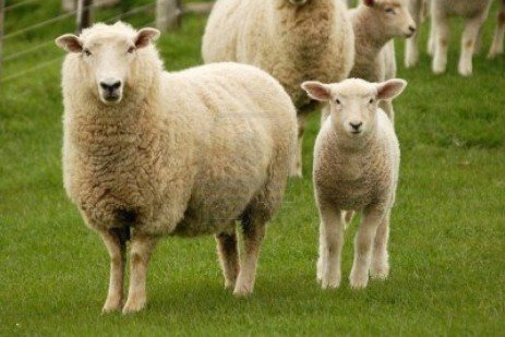 What You Should Know About Buying Livestock