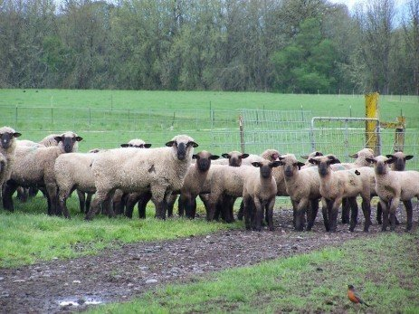 Determining the Most Efficient Ewe Size for Your Operation