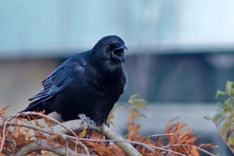 Managing Urban Crow Roosts in Pennsylvania and the Northeast