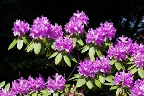 Rhododendron Borer