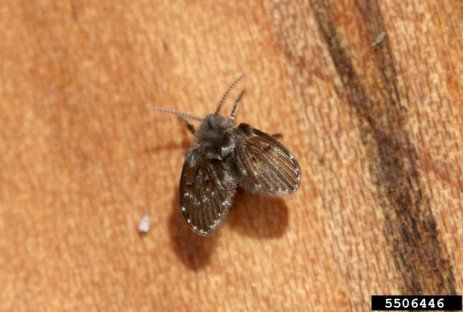 Moth Flies in the Home