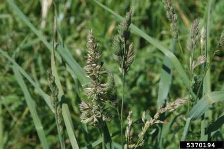 Orchardgrass Burndown and Forage Weeds