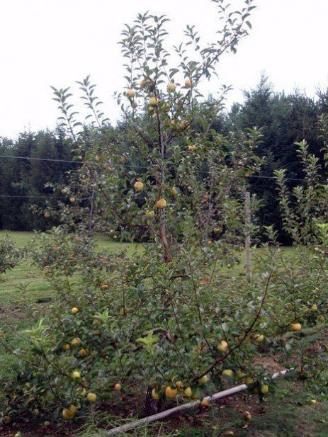 Apple Rootstocks on the Horizon
