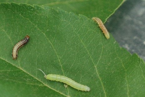 Tree Fruit Insect Pest - Green Fruitworm