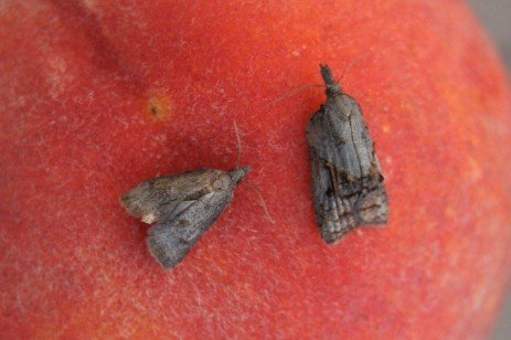 Tree Fruit Insect Pest -Tufted Apple Bud Moth