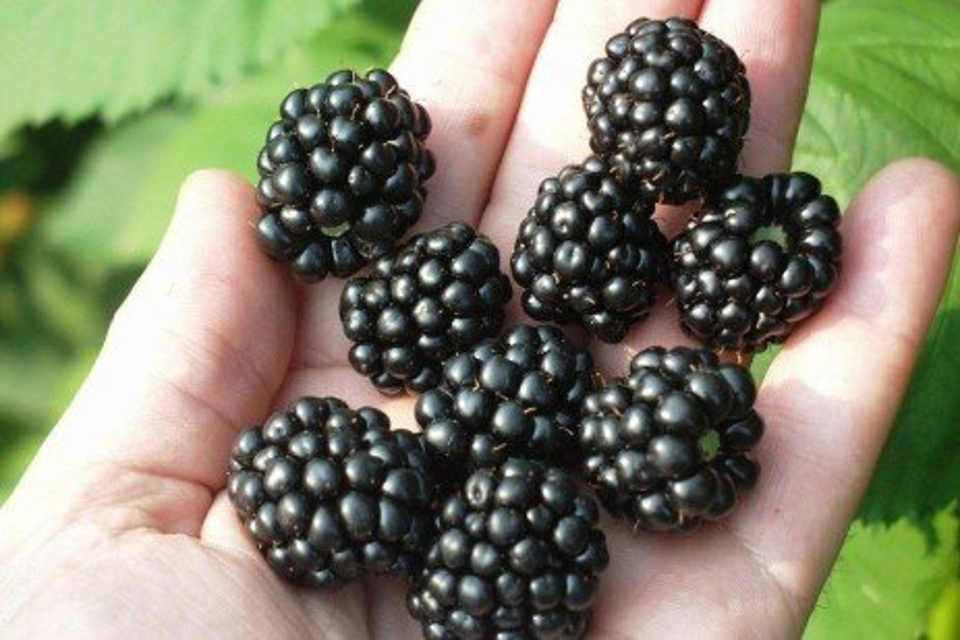 Small Fruit Mite - Broad Mites on Blackberries