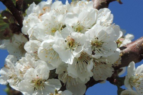 Fruit Tree Bloom Stages - Sweet Cherry