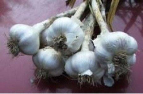 Bloat Nematode on Garlic