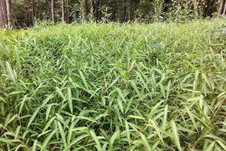 Japanese Stiltgrass an Increasingly Common Occurrence in Pennsylvania