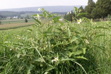 Poisonous Pasture Weeds
