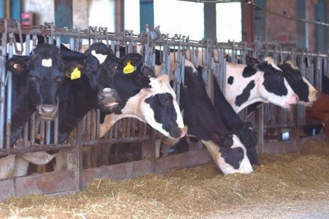 Managing Starch Digestibility Changes in Corn Silage