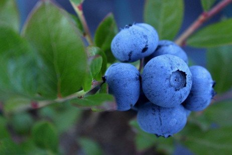 Highbush Blueberry Production