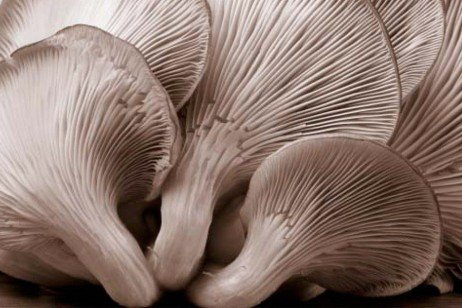 Cultivation of Oyster Mushrooms