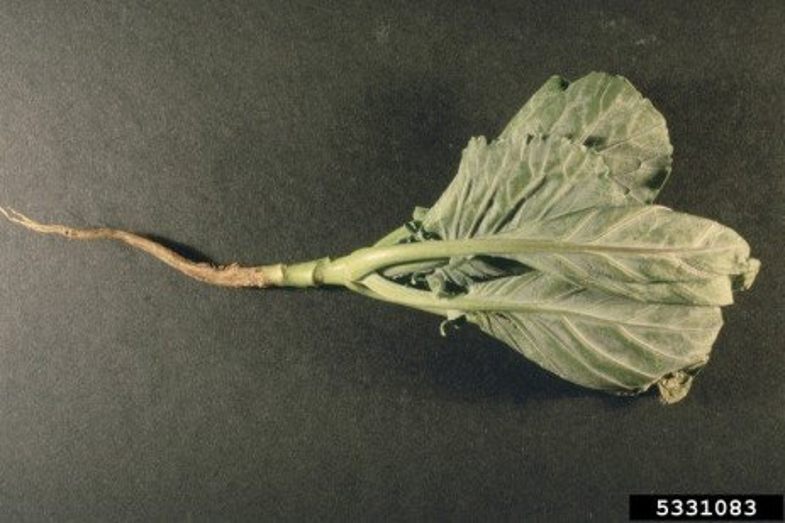 Cabbage Maggot