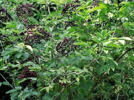 Home Fruit Plantings: Elderberry Variety Selection