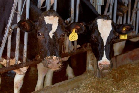 Feed Efficiency in Lactating Cows and Relationship to Income Over Feed Costs