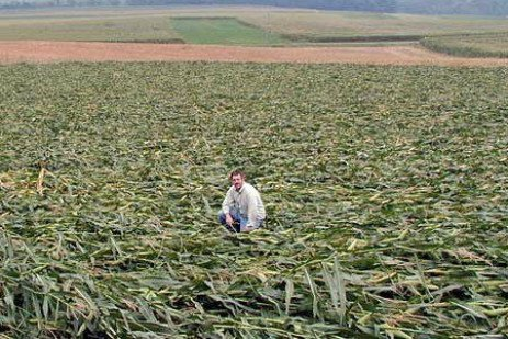 Wind Damage Management in Corn