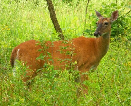 Ornamentals and Deer: Realities and Landscape Plant Options