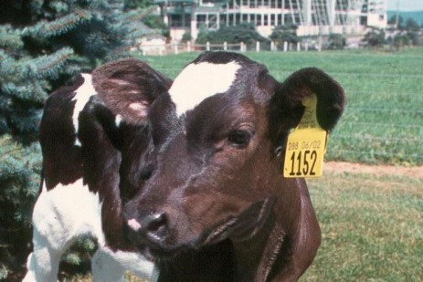 Effects of Calf Feeding Program on First Lactation Performance