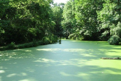 Pond Scum - Duckweed and Watermeal