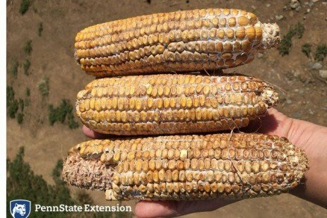 Ear Rots in Your Corn Crop?