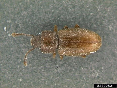 Foreign Grain Beetles