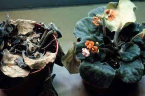Phytophthora Root Rot On Woody Ornamentals