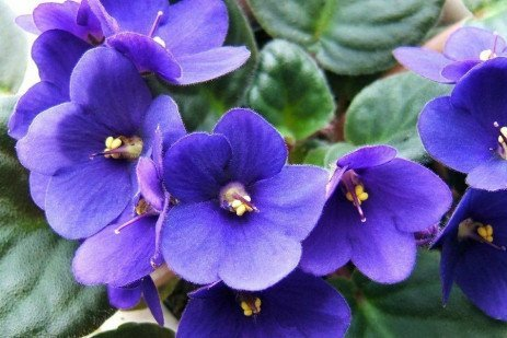 Why isn't My African Violet Flowering?