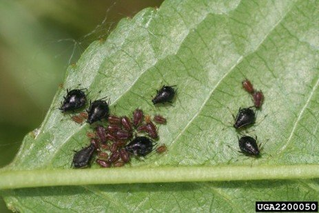 Tree Fruit Insect Pest - Black Cherry Aphid