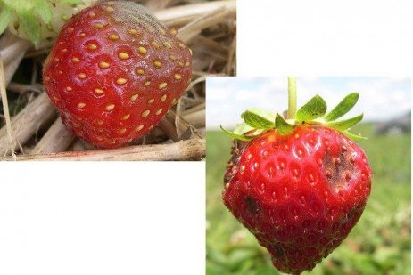 Strawberry Disease - Fruit Rot Protection Begins at Bloom